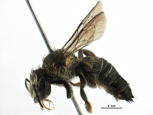 (Megachile KEN15 - 06737F05-KFN)  @11 [ ] CreativeCommons - Attribution Non-Commercial Share-Alike (2016) BIO Photography Group Biodiversity Institute of Ontario