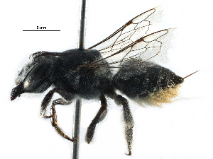 (Megachile ZAF07 - 06747D11-ZAF)  @14 [ ] CreativeCommons - Attribution Non-Commercial Share-Alike (2016) BIO Photography Group Biodiversity Institute of Ontario