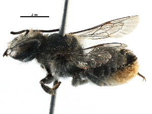 (Megachile frontalis - 06747F12-ZAF)  @13 [ ] CreativeCommons - Attribution Non-Commercial Share-Alike (2016) BIO Photography Group Biodiversity Institute of Ontario