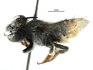 (Megachile ZAF05 - 06747G08-ZAF)  @13 [ ] CreativeCommons - Attribution Non-Commercial Share-Alike (2016) CBG Photography Group Centre for Biodiversity Genomics