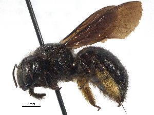 (Xylocopa lugubris - 06747G10-ZAF)  @13 [ ] CreativeCommons - Attribution Non-Commercial Share-Alike (2016) CBG Photography Group Centre for Biodiversity Genomics