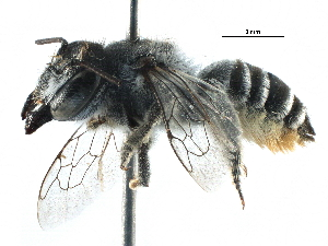 (Megachile ZAF07 - 06747H02-ZAF)  @14 [ ] CreativeCommons - Attribution Non-Commercial Share-Alike (2016) BIO Photography Group Biodiversity Institute of Ontario