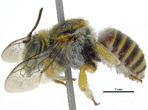 (Afranthidium ZAF03 - 06747H03-ZAF)  @13 [ ] CreativeCommons - Attribution Non-Commercial Share-Alike (2015) BIO Photography Group Biodiversity Institute of Ontario
