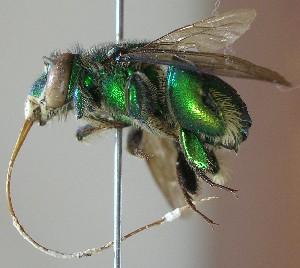 ( - CBF-Hym-00709)  @11 [ ] Copyright (2012) CBF Colección Boliviana de Fauna