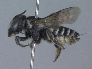(Megachile apicalis - 01-OR-0475)  @14 [ ] CreativeCommons - Attribution Non-Commercial Share-Alike (2010) Cory S. Sheffield York University