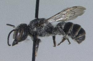 (Megachile campanulae - 06-VA-0770)  @14 [ ] CreativeCommons - Attribution Non-Commercial Share-Alike (2010) Cory S. Sheffield York University
