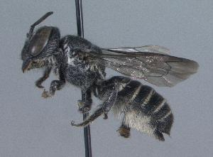 (Megachile exilis parexilis - 06-IL-0138)  @14 [ ] CreativeCommons - Attribution Non-Commercial Share-Alike (2010) Cory S. Sheffield York University