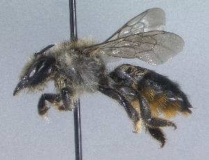 (Megachile circumcincta - 03-NT-0026)  @16 [ ] CreativeCommons - Attribution Non-Commercial Share-Alike (2010) Cory S. Sheffield York University
