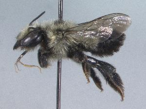 (Megachile circumcincta - 06-YT-0764)  @15 [ ] CreativeCommons - Attribution Non-Commercial Share-Alike (2010) Unspecified York University