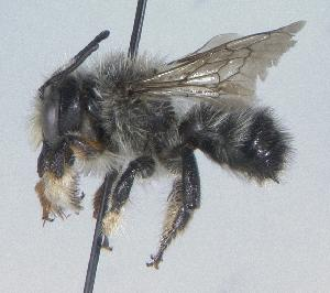 (Megachile melanophaea - 06-YT-0763)  @15 [ ] CreativeCommons - Attribution Non-Commercial Share-Alike (2010) Cory S. Sheffield York University