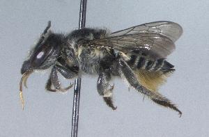 (Megachile mendica - 06-NC-0496)  @15 [ ] CreativeCommons - Attribution Non-Commercial Share-Alike (2010) Cory S. Sheffield York University