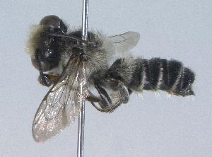 (Megachile mendica - 06-IL-0153)  @15 [ ] CreativeCommons - Attribution Non-Commercial Share-Alike (2010) Cory S. Sheffield York University
