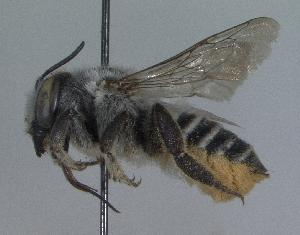 (Megachile sp. aff. parallela - 03-TX-0480)  @14 [ ] CreativeCommons - Attribution Non-Commercial Share-Alike (2010) Cory S. Sheffield York University