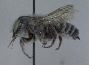 (Megachile parallela - 03-TX-0479)  @14 [ ] CreativeCommons - Attribution Non-Commercial Share-Alike (2010) Cory S. Sheffield York University