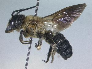 (Megachile sculpturalis - 06-VA-0275)  @14 [ ] CreativeCommons - Attribution Non-Commercial Share-Alike (2010) Unspecified York University