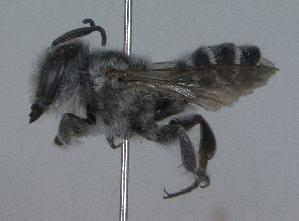 (Megachile lippiae - 03-TX-0477)  @14 [ ] CreativeCommons - Attribution Non-Commercial Share-Alike (2010) Unspecified York University