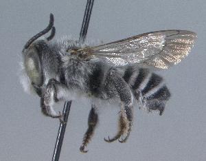 (Megachile townsendiana - 02-AZ-0338)  @14 [ ] CreativeCommons - Attribution Non-Commercial Share-Alike (2010) Cory S. Sheffield York University
