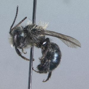 (Osmia subaustralis - 04-ON-0121)  @14 [ ] CreativeCommons - Attribution Non-Commercial Share-Alike (2010) Cory S. Sheffield York University