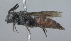 (Dioxys pacifica - 07-ID-1379)  @14 [ ] CreativeCommons - Attribution Non-Commercial Share-Alike (2010) Cory S. Sheffield York University