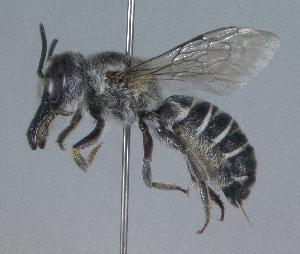 (Megachile adelphodonta - 05-AZ-1548)  @15 [ ] CreativeCommons - Attribution Non-Commercial Share-Alike (2010) Cory S. Sheffield York University