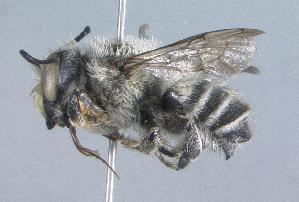 (Megachile agustini - 07-CO-1527)  @16 [ ] CreativeCommons - Attribution Non-Commercial Share-Alike (2010) Cory S. Sheffield York University