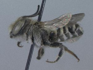 (Megachile apicalis - 07-WA-1640)  @14 [ ] CreativeCommons - Attribution Non-Commercial Share-Alike (2010) Unspecified York University