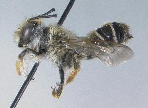 (Megachile mellitarsis - 07-WA-1623)  @14 [ ] CreativeCommons - Attribution Non-Commercial Share-Alike (2010) Unspecified York University