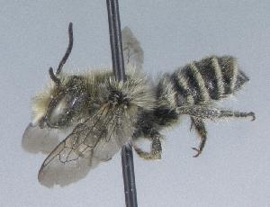 (Megachile onobrychidis - 06-UT-1184)  @14 [ ] CreativeCommons - Attribution Non-Commercial Share-Alike (2010) Cory S. Sheffield York University