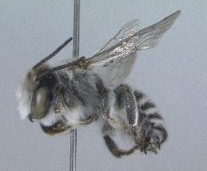 (Megachile rossi - 99-NV-1547)  @11 [ ] CreativeCommons - Attribution Non-Commercial Share-Alike (2010) Cory S. Sheffield York University