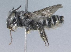 (Megachile anograe - 07-CO-1526)  @15 [ ] CreativeCommons - Attribution Non-Commercial Share-Alike (2010) Cory S. Sheffield York University