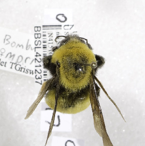 (Bombus morrisoni - 01-UT-2597)  @14 [ ] CreativeCommons - Attribution Non-Commercial Share-Alike (2010) Cory S. Sheffield York University