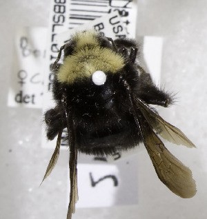 (Bombus caliginosus - 97-CA-2615)  @11 [ ] CreativeCommons - Attribution Non-Commercial Share-Alike (2010) Cory S. Sheffield York University