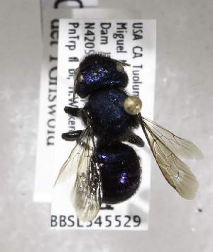(Osmia gabrielis - 04-CA-2731)  @13 [ ] CreativeCommons - Attribution Non-Commercial Share-Alike (2010) Cory S. Sheffield York University