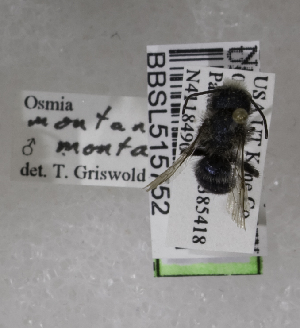 (Osmia montana montana - CCDB-03758 A04)  @13 [ ] CreativeCommons - Attribution Non-Commercial Share-Alike (2010) Cory S. Sheffield York University