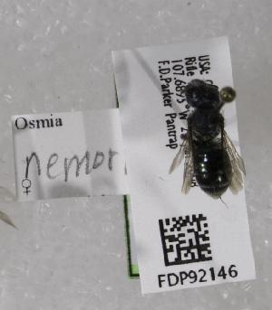 (Osmia nemoris - CCDB-03758 B07)  @13 [ ] CreativeCommons - Attribution Non-Commercial Share-Alike (2010) Cory S. Sheffield York University