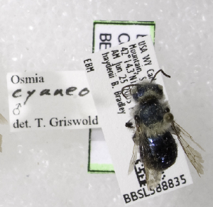 (Osmia cyaneonitens - CCDB-03758 G06)  @13 [ ] CreativeCommons - Attribution Non-Commercial Share-Alike (2010) Cory S. Sheffield York University