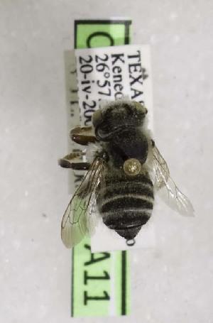 (Megachile mucorosa - CCDB-03768 A11)  @11 [ ] CreativeCommons - Attribution Non-Commercial Share-Alike (2010) Cory S. Sheffield York University