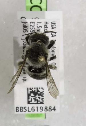 (Megachile gravita - CCDB-03768 B10)  @13 [ ] CreativeCommons - Attribution Non-Commercial Share-Alike (2010) Cory S. Sheffield York University