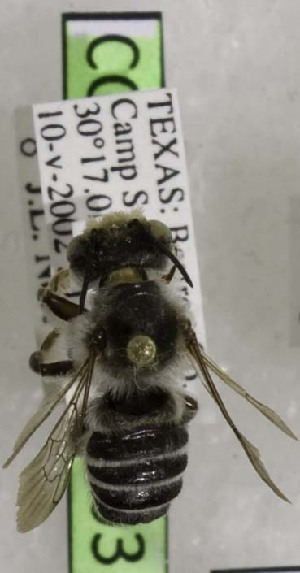 (Megachile dakotensis - CCDB-03768 B03)  @12 [ ] CreativeCommons - Attribution Non-Commercial Share-Alike (2010) Cory S. Sheffield York University