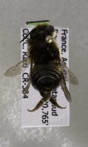 (Megachile melanogaster - CCDB-03771 A10)  @12 [ ] CreativeCommons - Attribution Non-Commercial Share-Alike (2010) Cory S. Sheffield York University