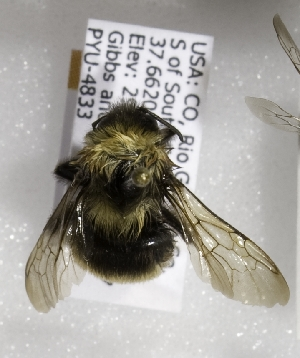(Bombus occidentalis occidentalis - CCDB-09863 A04)  @14 [ ] Unspecified (default): All Rights Reserved (2011) Unspecified York University