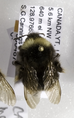 (Bombus occidentalis mckayi - CCDB-09863 B02)  @14 [ ] Unspecified (default): All Rights Reserved (2011) Unspecified York University