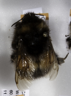 (Bombus neoboreus - CCDB-15289 A11)  @13 [ ] Unspecified (default): All Rights Reserved (2012) Packer Lab York University
