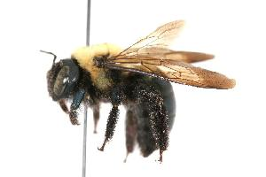 ( - GUE06-BEES-032)  @14 [ ] CreativeCommons - Attribution Non-Commercial Share-Alike (2009) BIO Photography Group Biodiversity Institute of Ontario