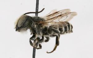 (Megachile rotundata - GUE06-BEES-130)  @14 [ ] CreativeCommons - Attribution Non-Commercial Share-Alike (2009) BIO Photography Group Biodiversity Institute of Ontario
