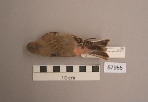 (Bucanetes mongolicus - UWBM 57955)  @14 [ ] Copyright (2008) Burke Museum of Natural History and Culture Burke Museum of Natural History and Culture