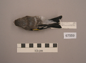 (Carduelis carduelis - UWBM 67559)  @14 [ ] Copyright (2008) Unspecified Burke Museum of Natural History and Culture