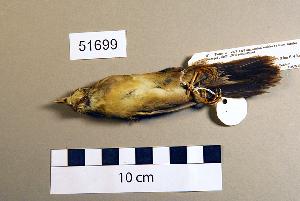 (Bradypterus - UWBM 51699)  @13 [ ] Copyright (2008) Burke Museum of Natural History and Culture Burke Museum of Natural History and Culture