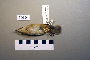 (Phylloscopus fuscatus - UWBM 59684)  @13 [ ] Copyright (2008) Burke Museum of Natural History and Culture Burke Museum of Natural History and Culture