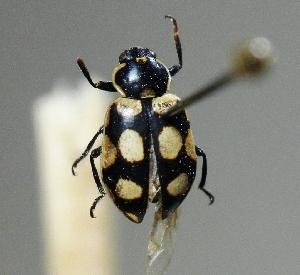 (Ascya - CBF-Cocci-000219)  @11 [ ] Copyright (2012) Coleccion Boliviana de Fauna Coleccion Boliviana de Fauna